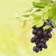 Bunch of black ripe grapes — Stock Photo