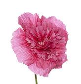 Beautiful pink flower decorative rose — Stock Photo