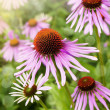 Garden decorative  pink flowers — Stockfoto