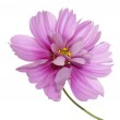 Beautiful pink flower over white background — Stock Photo