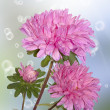 Chrysanthemum.Holidays background — Stock fotografie