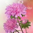 Chrysanthemum.Holidays background — Stock Photo