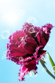 Red dark decorative tulip on a sky blue background — Stock fotografie