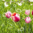 Decorative garden flowers. Spring tulips — Stock Photo