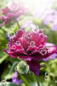 Decorative garden flowers. Spring tulips — Stock Photo