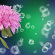Stock Photo: Holidays beautiful flower card.Chrysanthemum