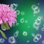 Holidays beautiful flower card.Chrysanthemum — Stock Photo