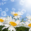 Spring sunny nature background.White fields camomile — Stock Photo