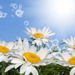 ������, ������: White chamomile