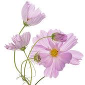 Beautiful pink flowers.Holidays bouquet — Stock Photo
