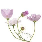 Tarjeta de flowers.flower rosa hermosa — Foto de Stock