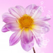 Pink beautiful flower on a abstract background - Foto de Stock  