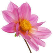 Pink beautiful flower on a white background — Photo