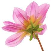 Rosa vacker blomma — Stockfoto