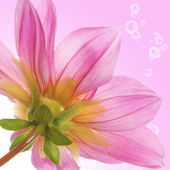 Pink beautiful flower on a abstract background — Stock Photo