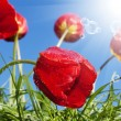 Red beautiful tulips on a blue sunny sky background — Stock Photo