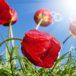 Red beautiful tulips on a blue sunny sky background — Stock Photo #14432141