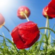 Stock Photo: Red beautiful tulips on a blue sunny sky background