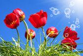 Krásné červené tulipány na pozadí modré slunečné nebe — Stock fotografie