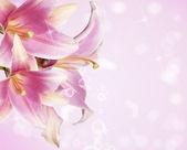 Tarjeta de hermosas flores. lirio rosa — Foto de Stock