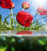 Beautiful flowers card.Red tulips — Stock Photo
