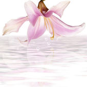 Pink beautiful lily on a water.Spa background — Stock Photo