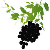 Ripe bunch of grapes with vine on a white background — Stock Photo