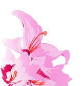 Beautiful pink lily on a white background.Holiday card. — Stok fotoğraf