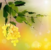 Mogen gäng grape.season nature.summer druvor — Stockfoto