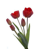 Red garden tulip on a white — Stock Photo