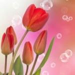 Spring beautiful tulip flower.Nature season — Stock Photo