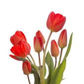 Spring beautiful tulip flower — Stock Photo