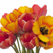 Spring beautiful tulip flower.Flower holiday card — Stock Photo