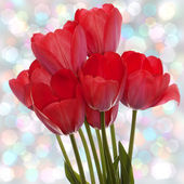 Spring beautiful red tulip flower on a abstract background — Stock Photo