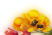 Tulip.Flower holiday card — Stock Photo