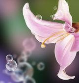 Ogród lilia — Zdjęcie stockowe
