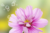 Fleur de jardin — Photo