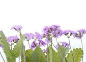 Zahradní květiny na bílém pozadí — Stock fotografie