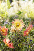Garden beautiful flower — Stock Photo