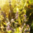 Lavender. Lavender field at Sunset.Soft Focus — Stockfoto