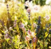 Lavender. Lavender field at Sunset. Soft Focus — Stock Photo