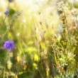 Lavender. Lavender field at Sunset. Soft Focus — Stockfoto