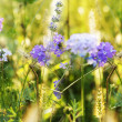 Lavender. Lavender field at Sunset. Soft Focus.Nature background — Stock Photo