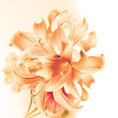 Beautiful flower card.Blossom Exotic Lily — Photo