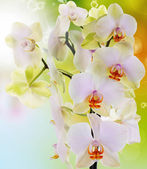 Exotic flower orchid.Beauty background.Spa concept — Foto Stock
