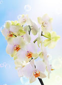 Exotic flower orchid.Beauty flower background.Spa — Stock Photo