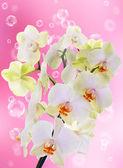 Exotic flower orchid.Beauty flower background.Spa — ストック写真