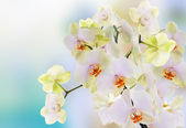 Beautiful flowers Japanese Orchid.Beauty.Flora — Stok fotoğraf