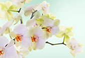 Beautiful flowers Japanese Orchid.Beauty.Flora — Zdjęcie stockowe