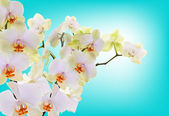 Beautiful flowers Japanese Orchid.Beauty.Flora — Foto Stock